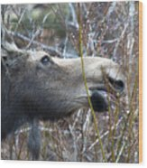 Cow Moose Dining On Willow Wood Print