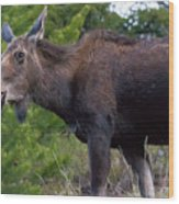 Cow Moose-signed-#4016 Wood Print