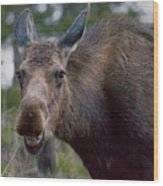 Cow Moose-signed-#4036 Wood Print