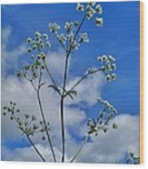 Cow Parsley Blossoms Wood Print