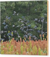 Cowbirds In Flight Over Milo Fields In Shiloh National Military Park Wood Print