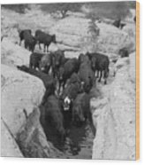 Cows In The Hole Wood Print