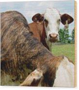 Cows8938 Wood Print