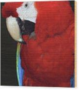 Coy Scarlet Macaw Wood Print