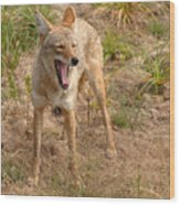 Coyote Caught In A Yawn Wood Print