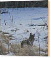 Coyote Food Hunting Wood Print