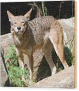 Coyote Grin Wood Print