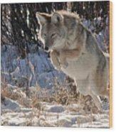 Coyote In Mid Jump Wood Print