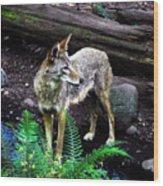 Coyote In Mid Stream Wood Print