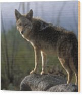 Coyote In Ocotillo Trees Wood Print