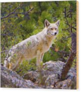 Coyote In The Rocky Mountain National Park Wood Print