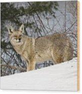 Coyote In Winter Wood Print