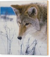 Coyote Listening  For Prey Wood Print