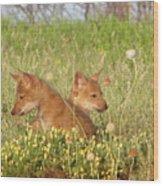Coyote Pups Wood Print