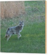 Coyote Stance  Wood Print