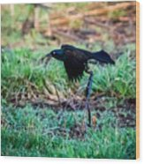 Grackle In The Morning  Wood Print