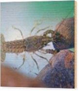 Crayfish Wood Print