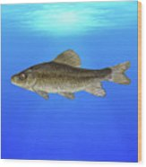 Creek Chubsucker Blue Lagoon  Wood Print