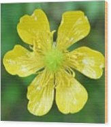 Creeping Buttercup Wood Print