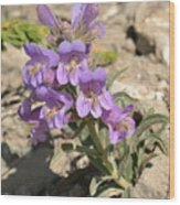 Crested Beardtongue Wood Print