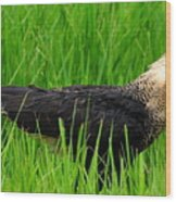 Crested Caracara 4 Wood Print