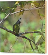 Crested Finchbill 2 Wood Print