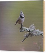Crested Tit In Woodland Wood Print