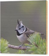 Crested Tit Pine Wood Print