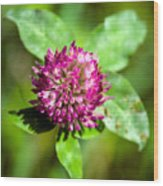 Crimson And Clover Wood Print