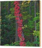 Crimson Creeper Wood Print