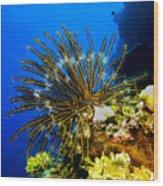 Crinoid At Pakin Atoll2 Wood Print