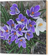 Crocus 6675 Wood Print