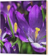 Crocus Amongst Us Wood Print