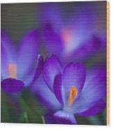 Crocus Blooms Wood Print