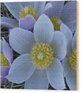 Crocus Blossoms Wood Print