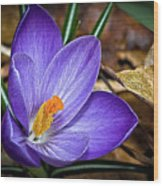 Crocus Emerging Wood Print