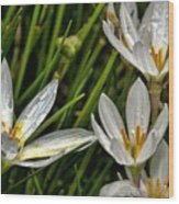 Crocus White Flowers Wood Print