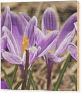Crocuses 2 Wood Print