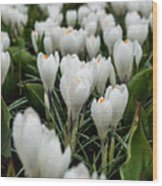Crocuses 5 Wood Print
