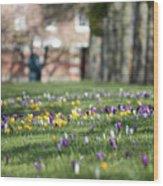 Crocuses At Hampton Court London Uk Wood Print