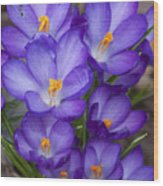 Crocuses Wood Print by Tom McCarthy