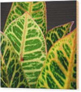 Croton Leaves In Profile Wood Print