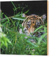 Crouching Tiger Hidden Cameraman Wood Print