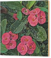 Crown Of Thorns Delight Wood Print