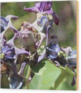 Crown Plant Closeup Wood Print