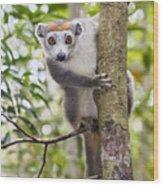 Crowned Lemur Madagascar Wood Print