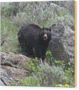 Curious Black Bear Wood Print