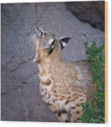 Curious Bobcat - Asdm Tucson Arizona Wood Print by Randall Ingalls