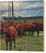 Curious Cattle Wood Print