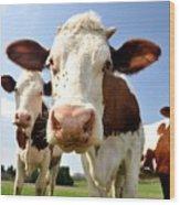 Curious Cow Wood Print